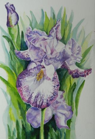 Radiant Orchid Iris